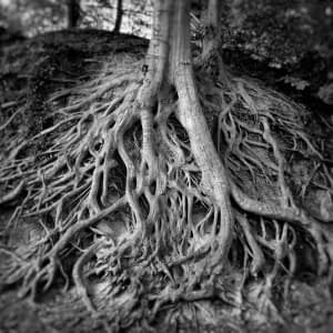 Tree Roots, Greenville, SC