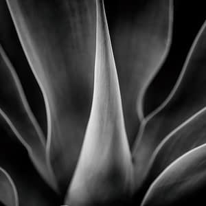 b&w image of agave plant