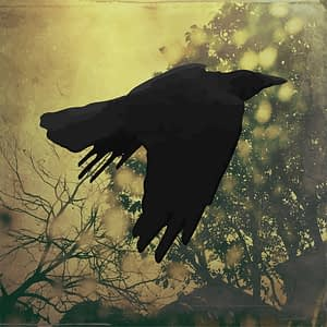 fine art photograph of a raven flying
